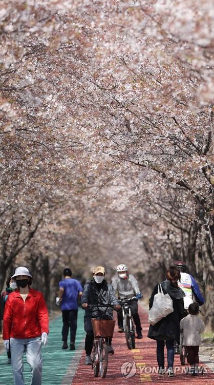 漫步樱花树下