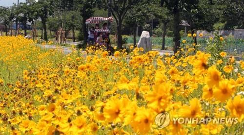 镜浦湖的金鸡菊