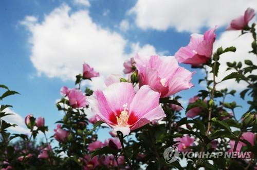 木槿花绽放