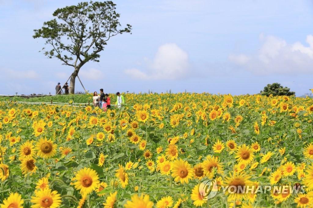 资料图片:7月31日,在济州道西归浦市安德面,游客们在向日葵花丛中尽享夏日时光。 韩联社