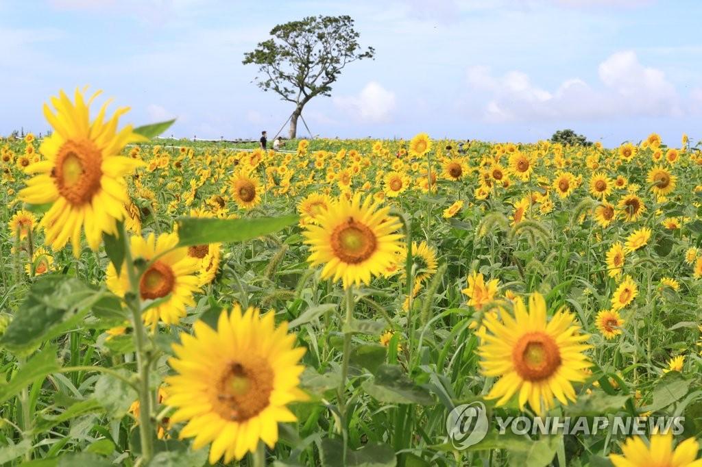 资料图片:济州向日葵花田 韩联社