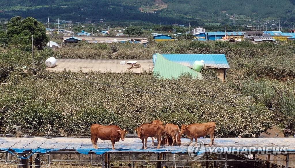 在牛舍顶棚避难的牛