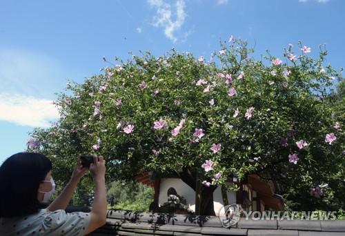 最高龄木槿树