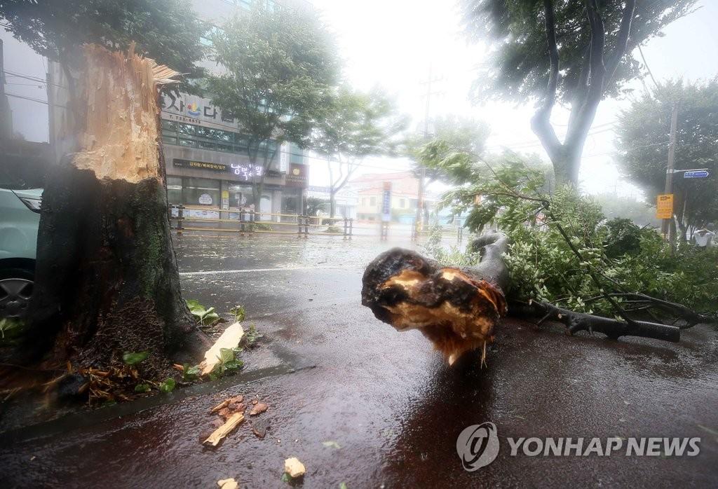"""资料图片:8月26日,在济州市吾罗1洞的一处街头,路边大树被大风吹倒,断成两截。受今年第8号台风""""巴威""""影响,济州遭遇强风暴雨天气。 韩联社"""