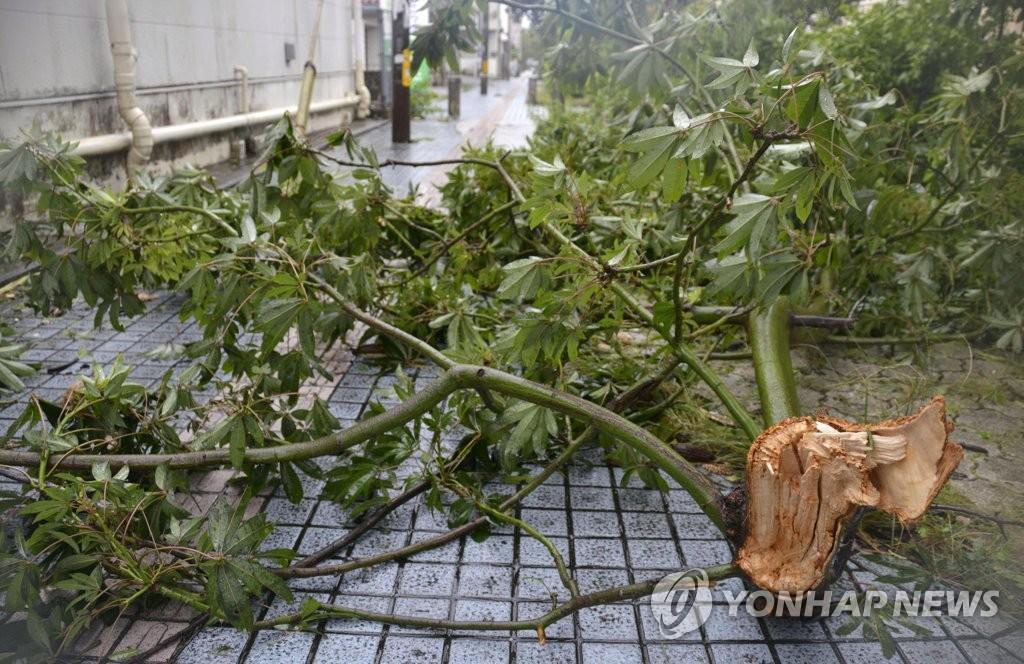 """9月1日上午,在日本冲绳市,一棵被台风""""美莎克""""刮倒的林荫树挡住人行道。韩联社"""