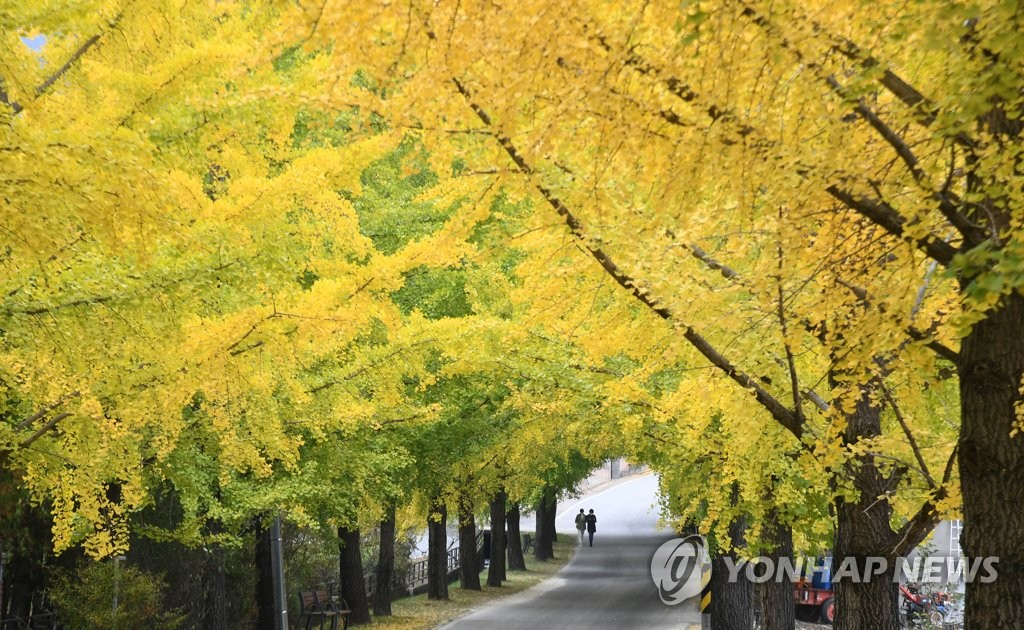 一树金黄染秋色