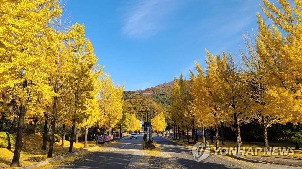 金黄银杏树