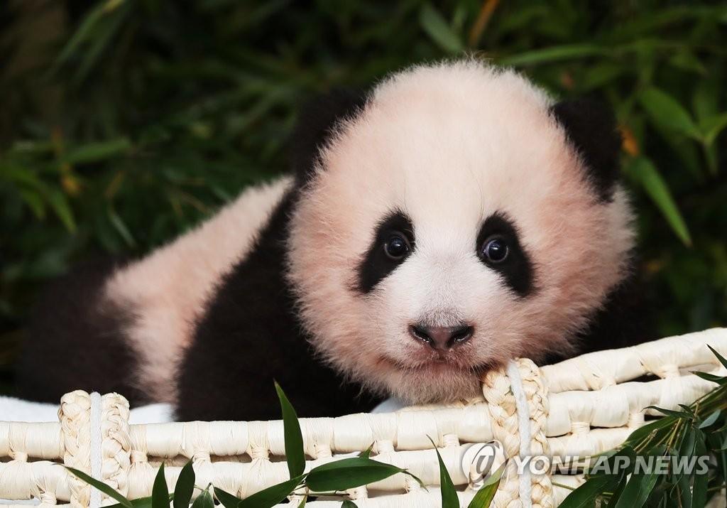 """大熊猫""""福宝"""" 韩联社"""