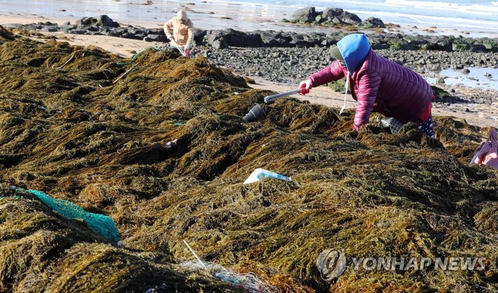 济州沿海被自华流入铜藻和海洋垃圾包围