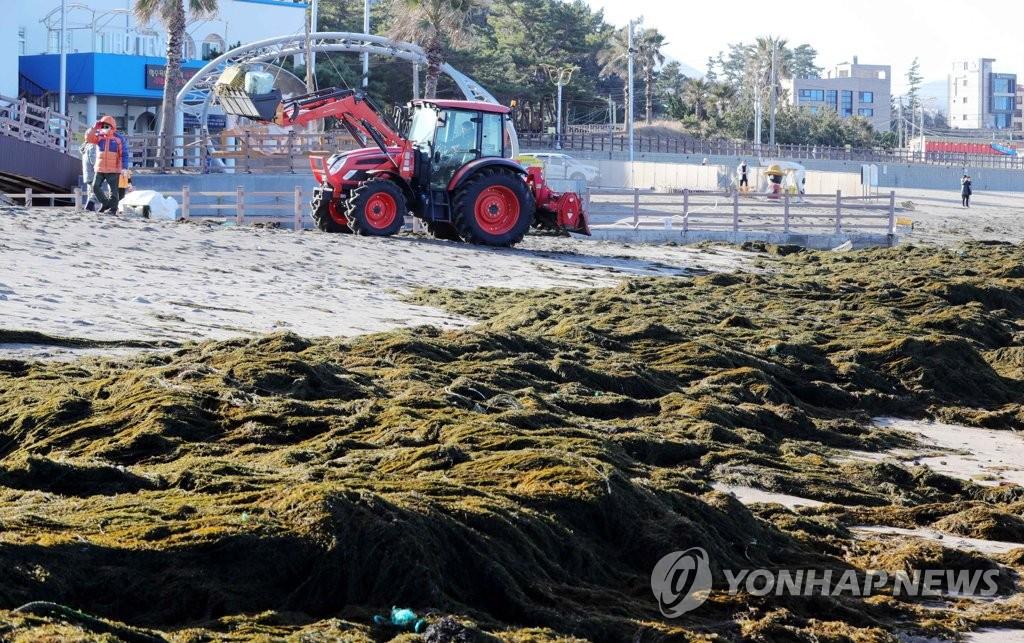 1月19日,在济州道济州市梨湖海水浴场,工作人员在清除铜藻。 韩联社