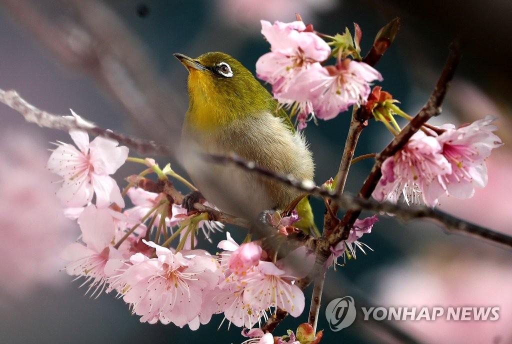 樱花树上绣眼鸟