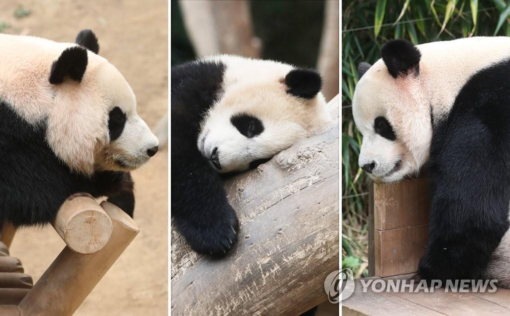 """资料图片:左起依次为熊猫妈妈""""爱宝""""、宝宝""""福宝""""、熊猫爸爸""""乐宝""""。 韩联社"""