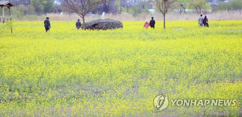 资料图片:4月4日,在大邱市琴湖江河中岛,市民们保持距离欣赏油菜花海。 韩联社