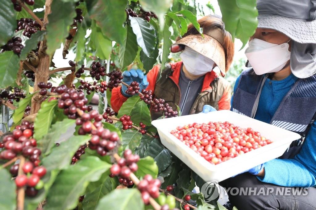 采摘咖啡豆
