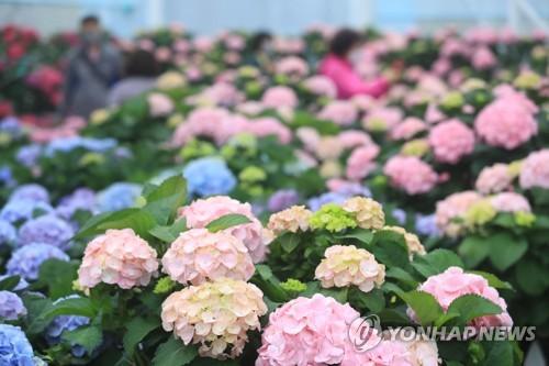 济州绣球花盛开