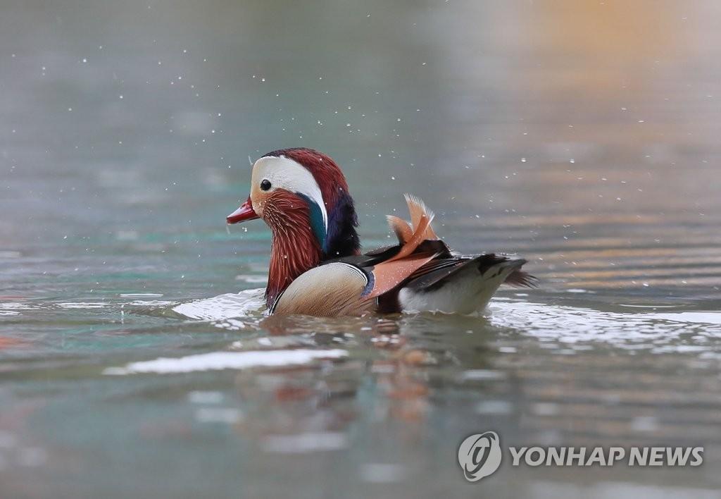 鸳鸯雨中戏水