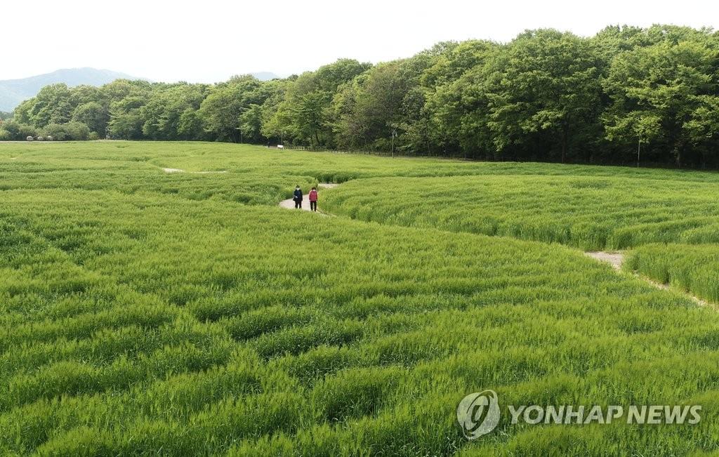 绿油油的大麦田