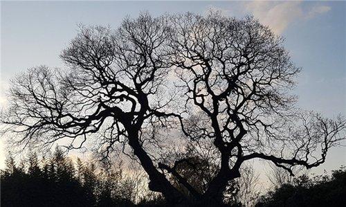 全罗北道530岁古朴树