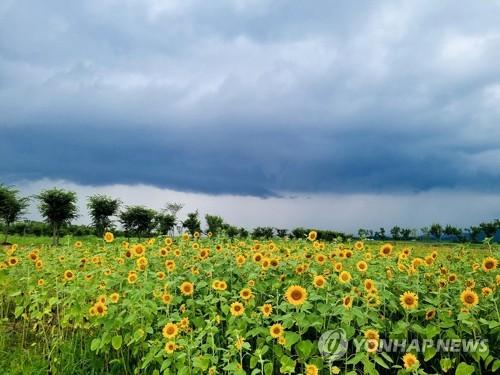 向日葵美景