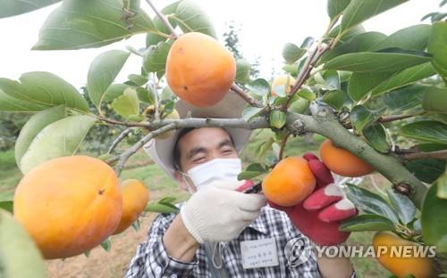 采摘甜柿子