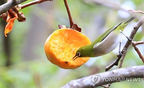 绣眼鸟吃柿子